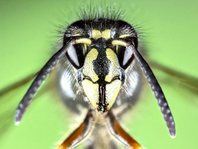 Une abeille de Mongolie