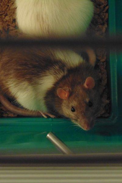 Un rat dans une cage