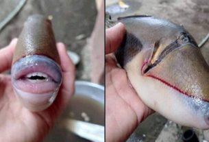 Le poisson baliste capturé par l'internaute malaisien.